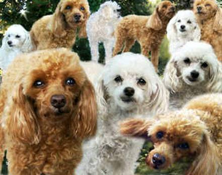 Lots of Poodles